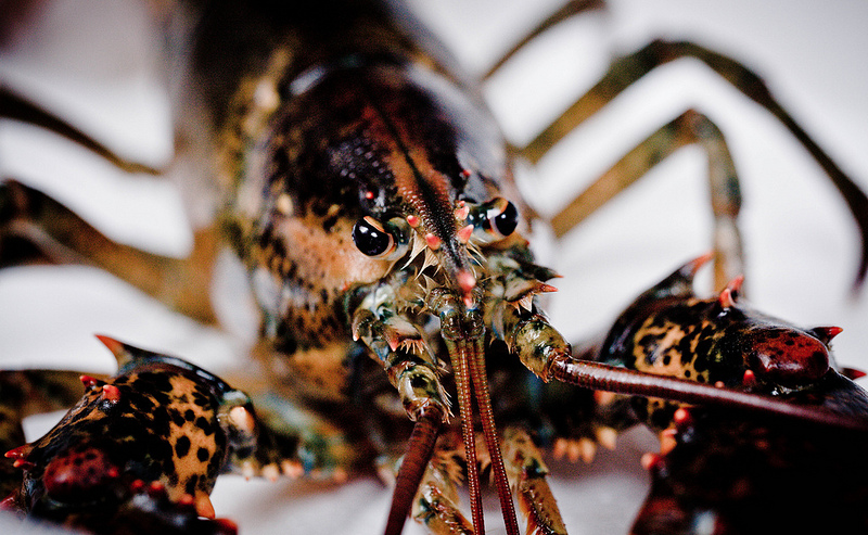 China Brings In Record Breaking Lobster Imports From the U.S.