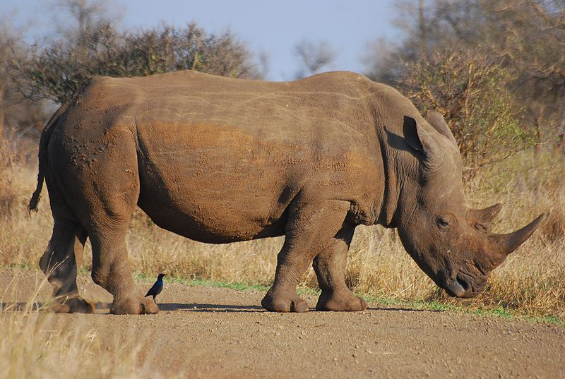 South African Court Says Selling Rhino Horn is Legal