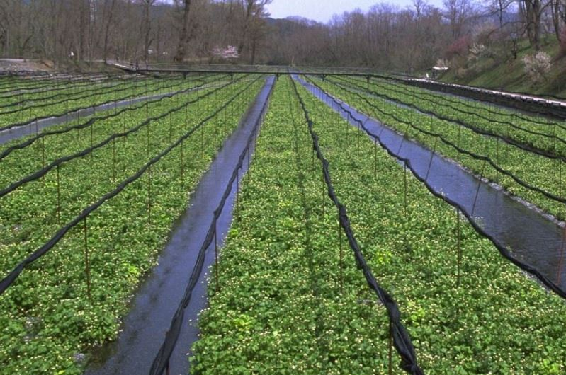 Wasabi plant in a land